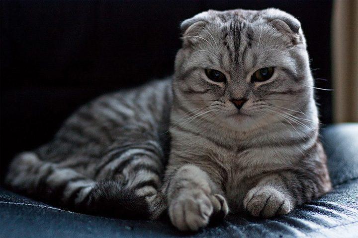 Tesné ázijské mačička vids